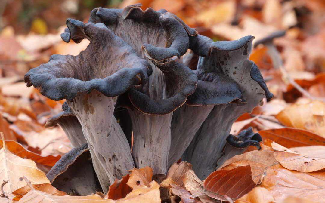 Vor der Totentrompete als Pilz musst du keine Angst haben
