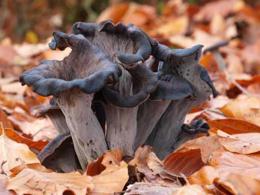Herbsttrompeten Pilze im Wald mittel