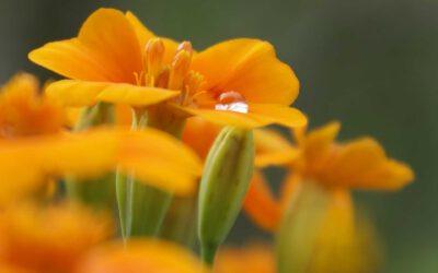 Kochen mit der wilden Tagetes-Blüte oder der Studentenblume