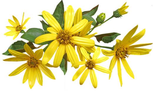 Topinambur Blüten nah