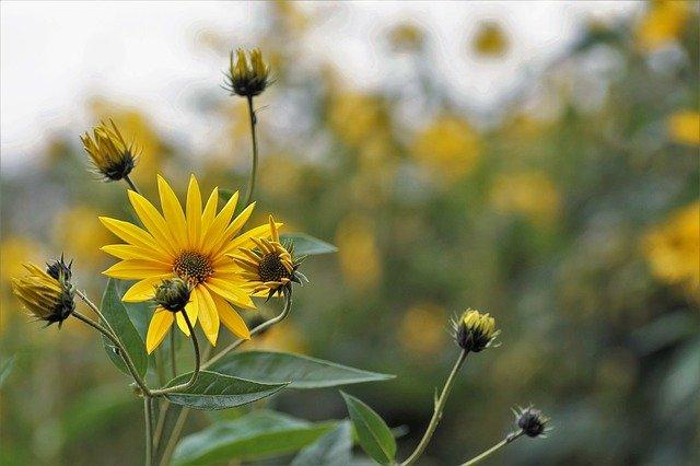 Topinambur-pflanze im Garten