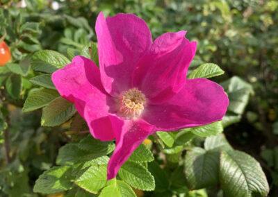 Rosa Blüte der Hagebutte