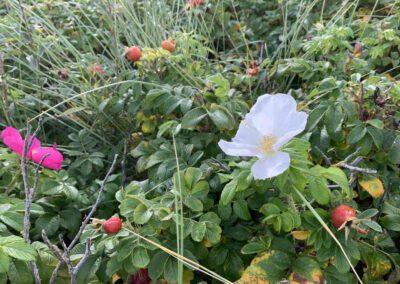 Weiße Blüte Rosa rugalis