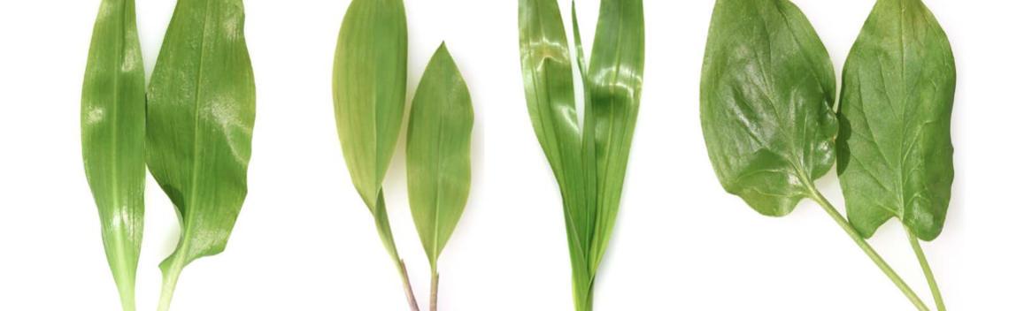 Abbildung 5 Blätter unterschiedlicher Pflanzen